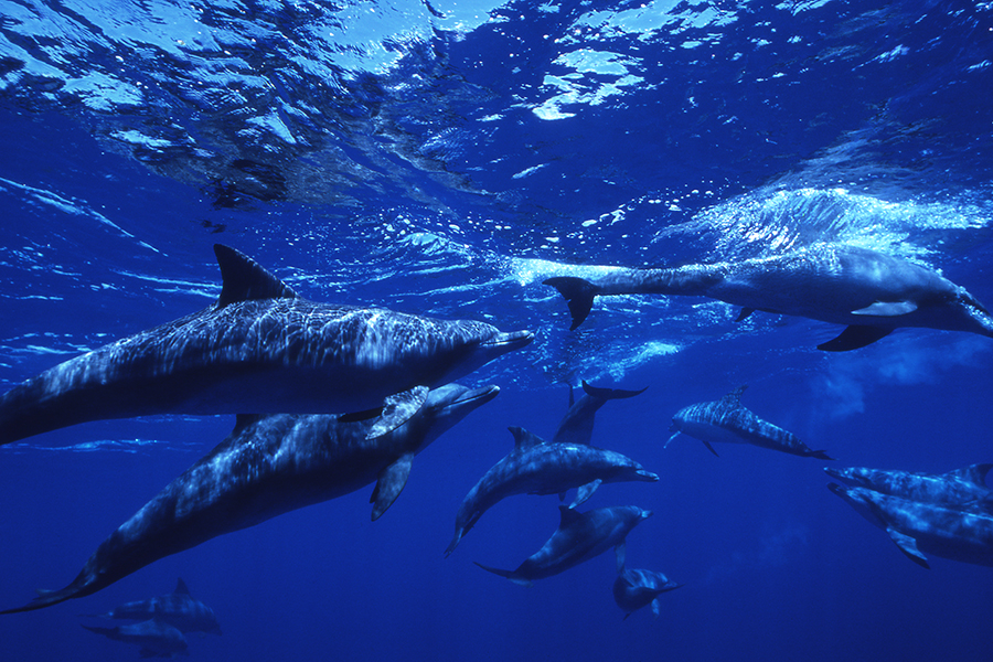 A school of dolphins