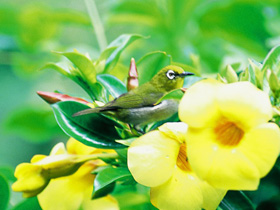 Mejiro (White-eye)