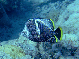 Yuzen (Wrought Iron Butterflyfish)
